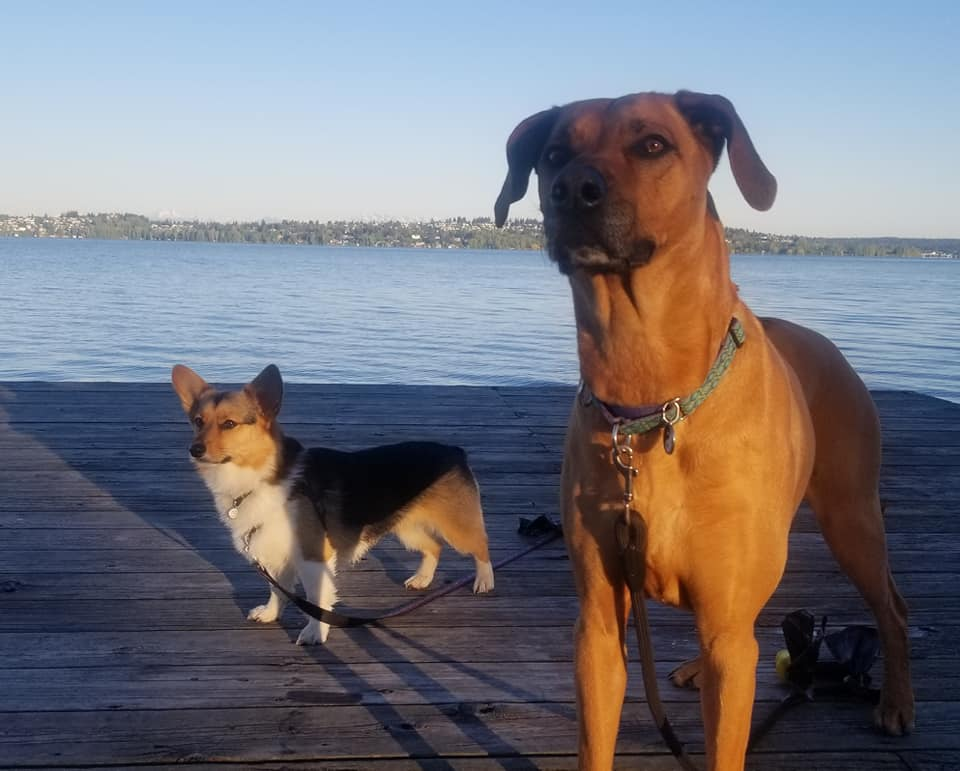 Corgi and Ridgeback hugs and heading out for a walk