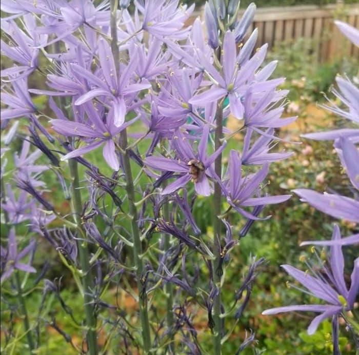 Honey Bee on my starbursts